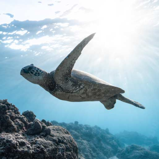 Priory Elements Turtle